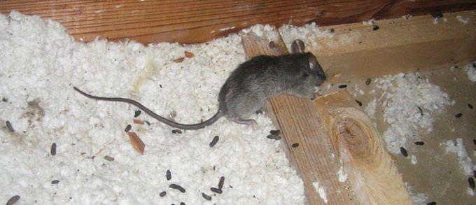 Roof Rat In Attic Pest Control Mice Roof Rats Diy Pest Control