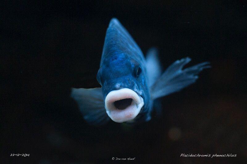 Image Cichlids White Lips Aquarium Fish