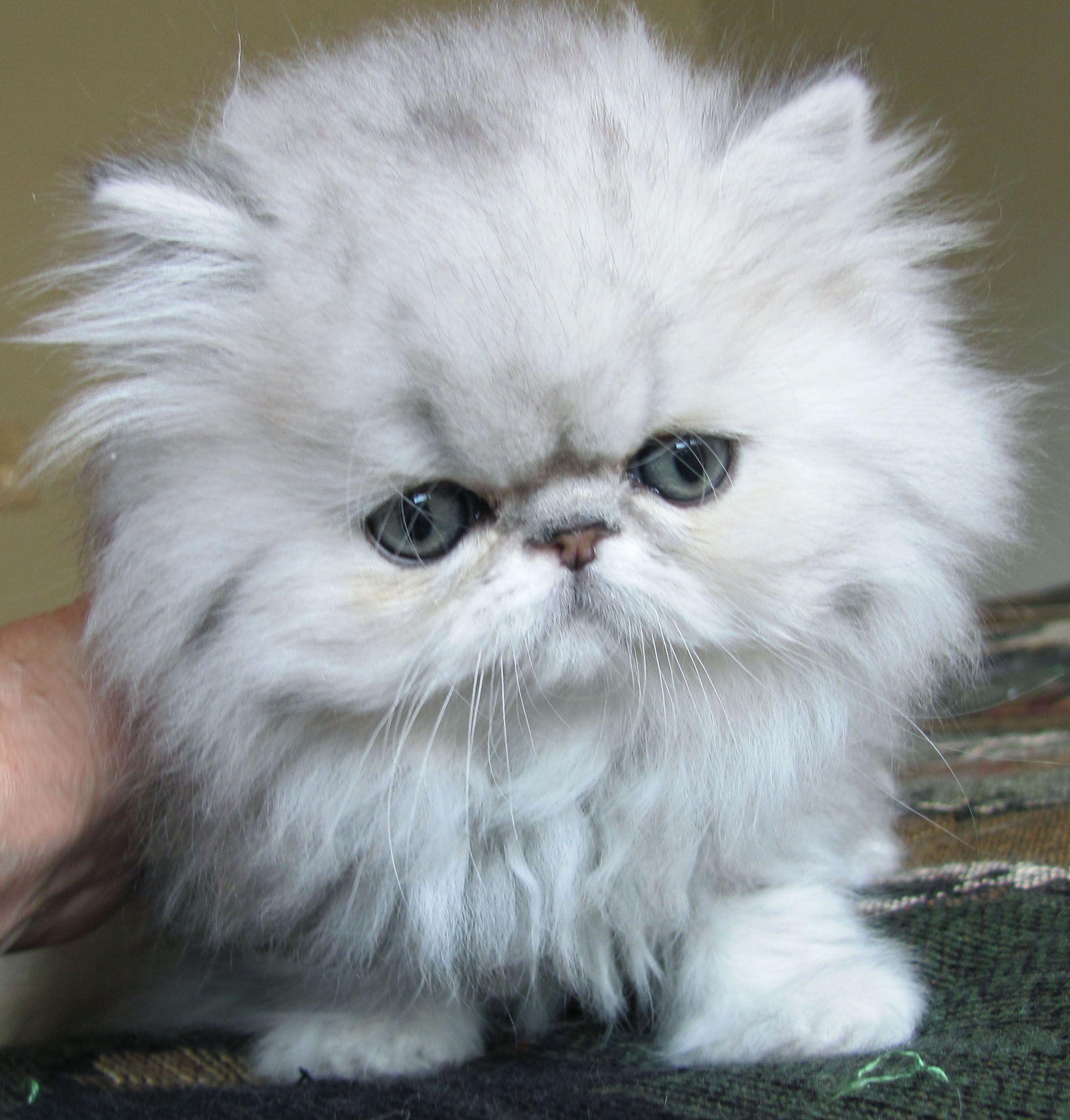 Cutest Fluff Ball Persian Kitten Cute Cats And Dogs Cute Cats Kittens Cutest