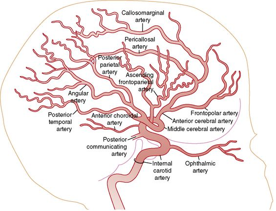 Image Result For Middle Cerebral Artery Neurology Pinterest