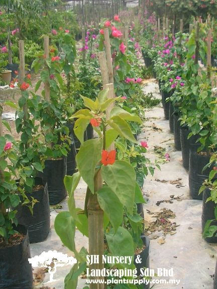 Climbers And Ferns With Images Wholesale Plant Nursery