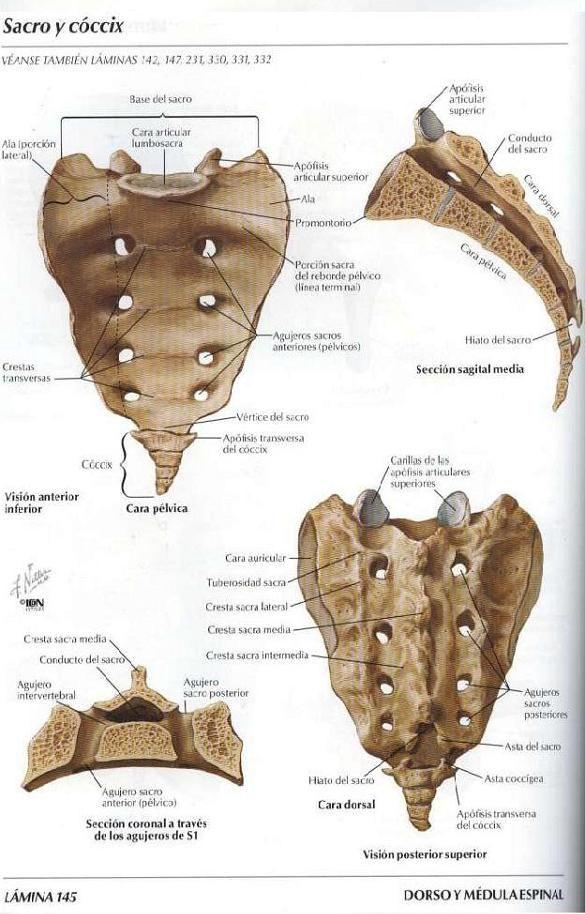 Bibliografia Atlas de Anatomia Humana de Frank H. Netter | anatomia ...