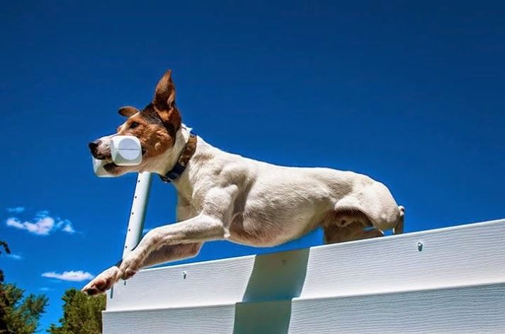 Parson Russell Terrier Dog Breed Information   Terrier dog ...