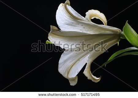a withered white lily