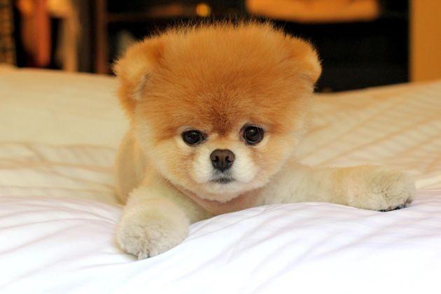 asombroso ruso estilo perrito