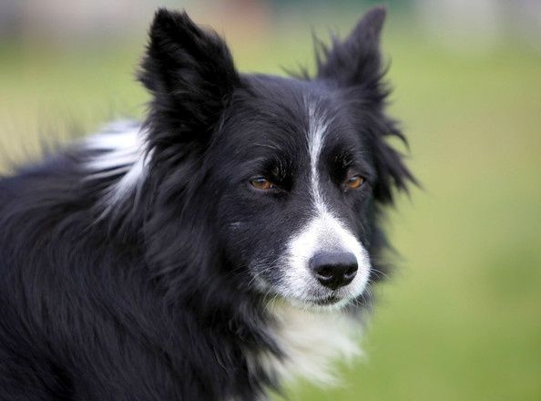 Dogs And Their Owners Participate In The International Sheepdog