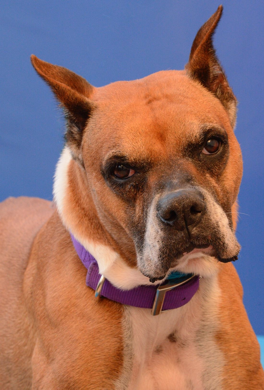 Boxer dog for Adoption in Media, PA. ADN404348 on
