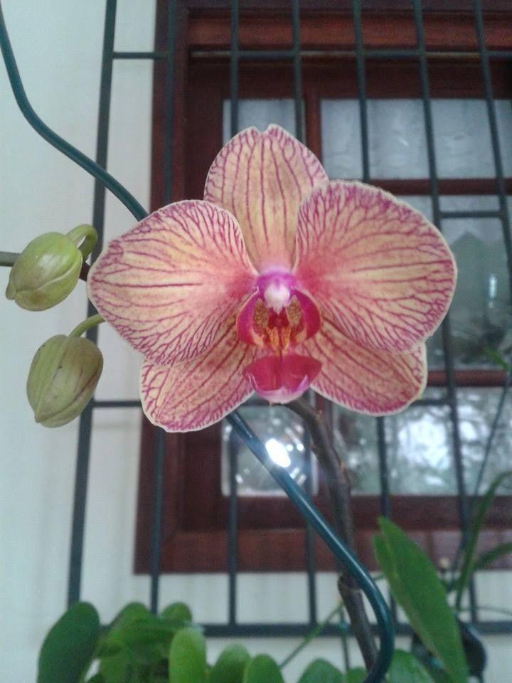 Orquídea f