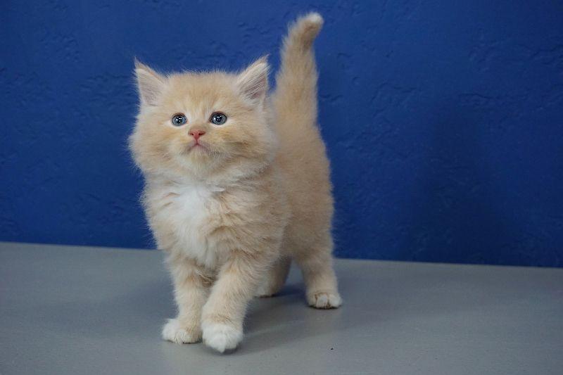 Munchkin Kittens For Sale Buy Munchkin Cat Near Me Munchkin Cat Munchkin Kitten Cat Behavior