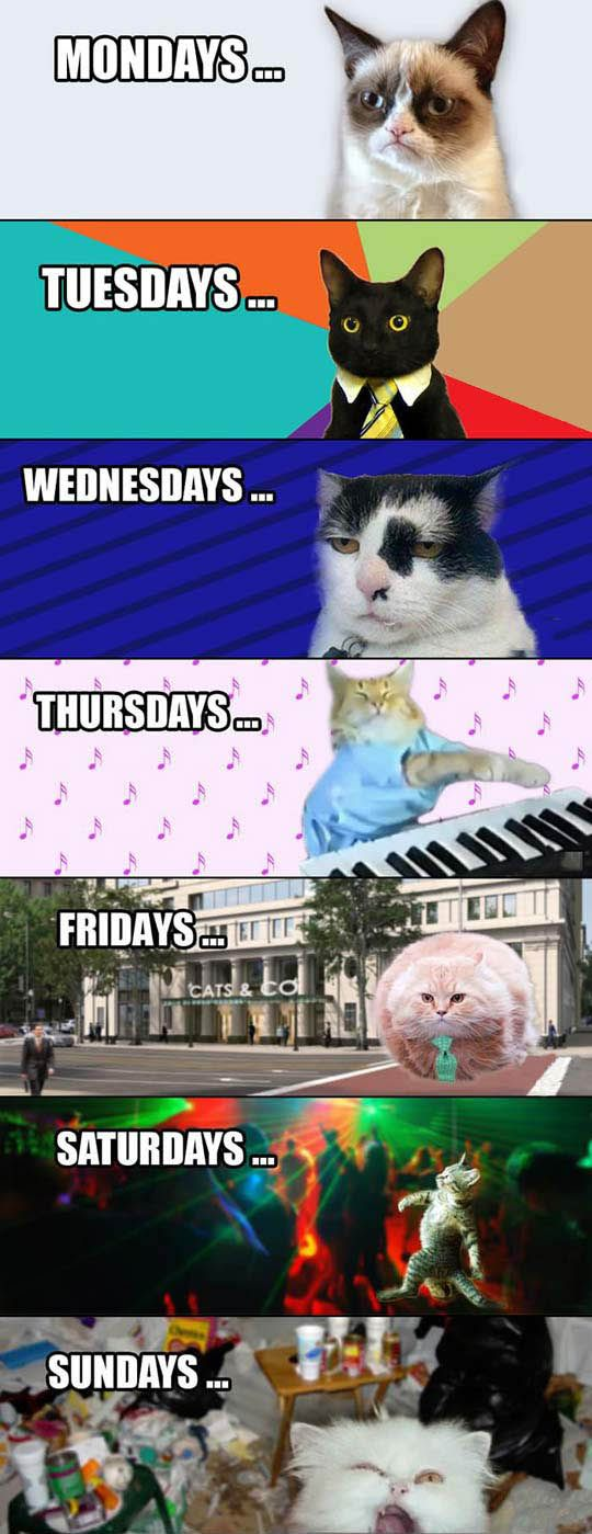 The Days Of The Week As Portrayed By Cats Grumpy Cat Humor Funny Animal Jokes Cute Funny Animals