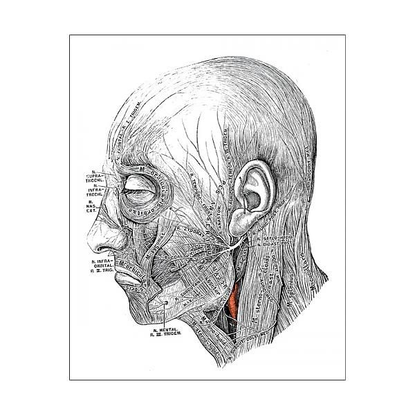 11+ 25cm Photo. Human anatomy scientific illustrations Facial nerve