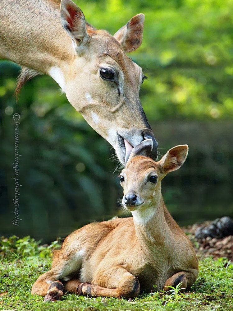 Mother deer grooming her fawn