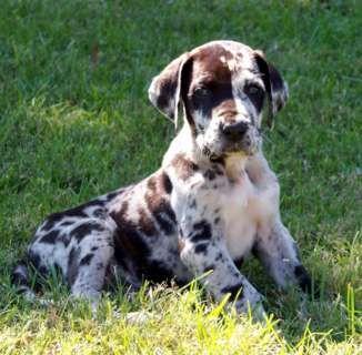 Great Dane Puppies Google Search Great Dane Dogs Dane Puppies