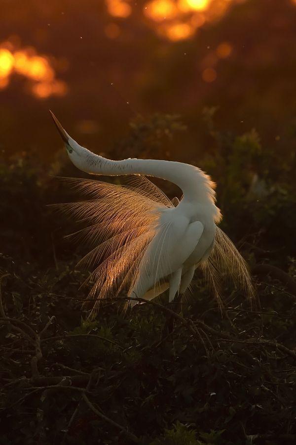 Bird Yin Great White Egret Photoextract Belle Northrup Creator