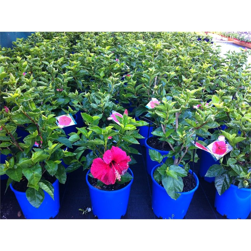Find 200mm Hibiscus At Bunnings Warehouse Visit Your Local Store For The Widest Range Of Home Improvement Products Hibiscus Plants Range