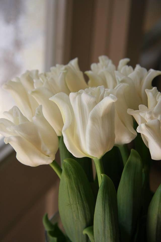 Ruffled Whites | TULIPS | Pinterest | Tulpe und Blumen