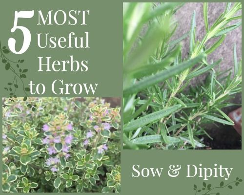 5 Most Useful Herbs In The Garden With Images Planting Herbs