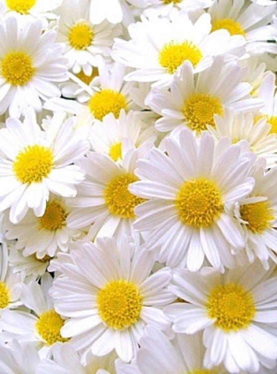 幸せなデイジー #schöneblumen