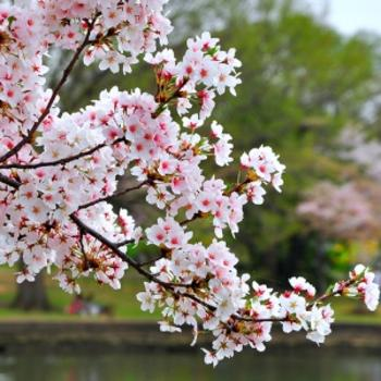 Cherry Blossom Festival Branch Brook Park In Newark Nj In 2021 Cherry Blossom Festival Cherry Blossom Branch Blossom