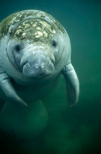 Pin By Claudia Marques On Whales Sea Lions Penguins Manatee Animals Beautiful Sea Animals
