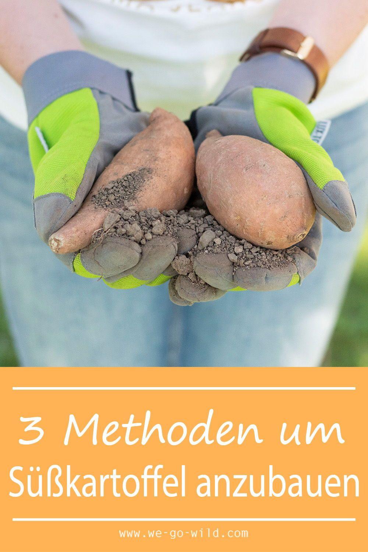 Süßkartoffel pflanzen im eigenen Garten - WE GO WILD