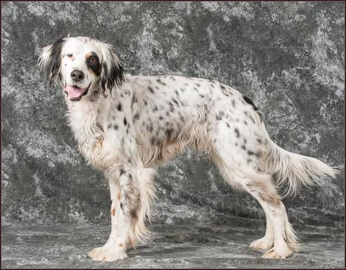 Adopt Duke On With Images English Setter Dogs Animal Welfare League English Setter