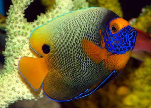 Blueface Angelfish Saltwater Fish Tanks Marine Fish Tanks Angel Fish