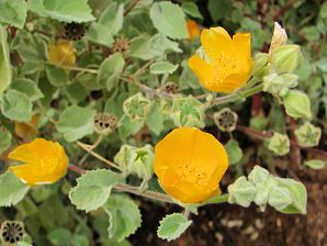 Abutlion Palmeri Indian Mallow California Native Plants