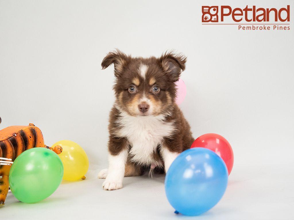 Petland florida has mini aussie puppies for sale