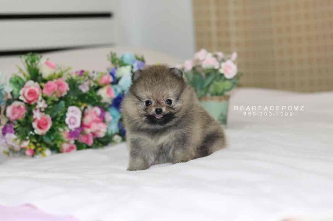 Dark Grey Female Pomeranian Puppy For Sale Pomeranian Puppy Pomeranian Puppy Teacup