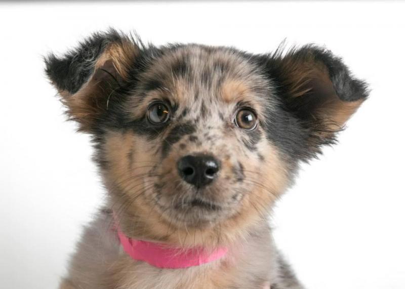 Adopt kitty on petfinder cattle dogs mix australian