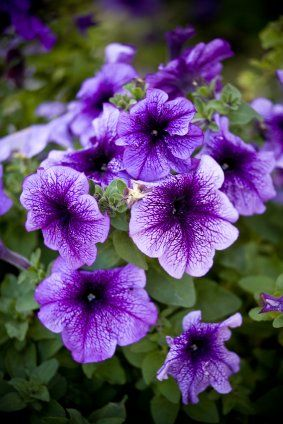Purple Wave Petunias Butterflies And Hummingbirds Love Em