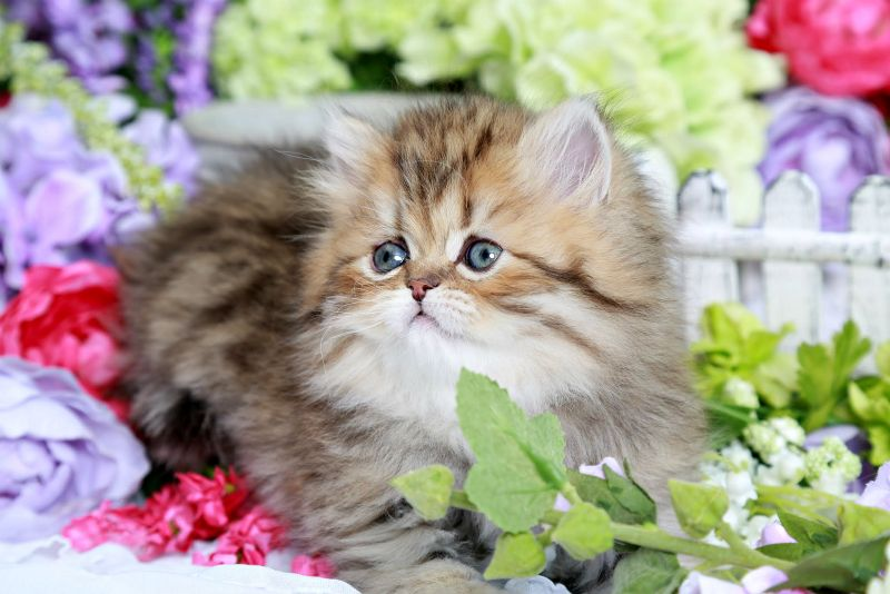 Daffodil Golden Chinchilla Persian Kitten For Sale Persian Kittens For Sale Persian Kittens Cute Cats And Dogs