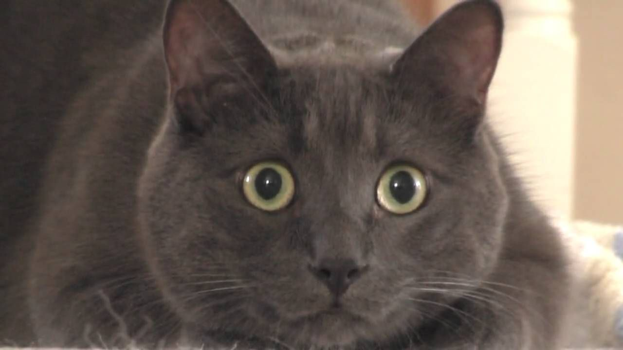 Cat Eyes Dilation Before Striking Cats Cute Cat Gif Best Cat Gifs