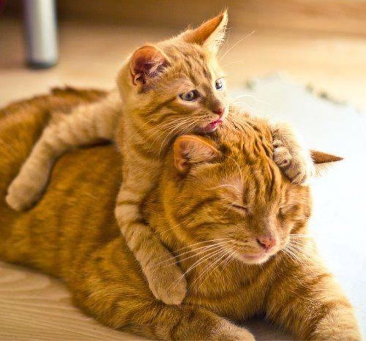 ginger mum and kitten...    ginger mum and kitten  Source by grgescarola   - http://newsyork.gq/ginger-mum-and-kitten/