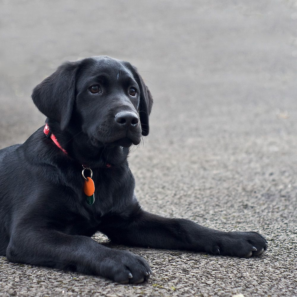 Ready When You Are By Michael Jordan Labrador Retriever Black Labrador Retriever Labrador