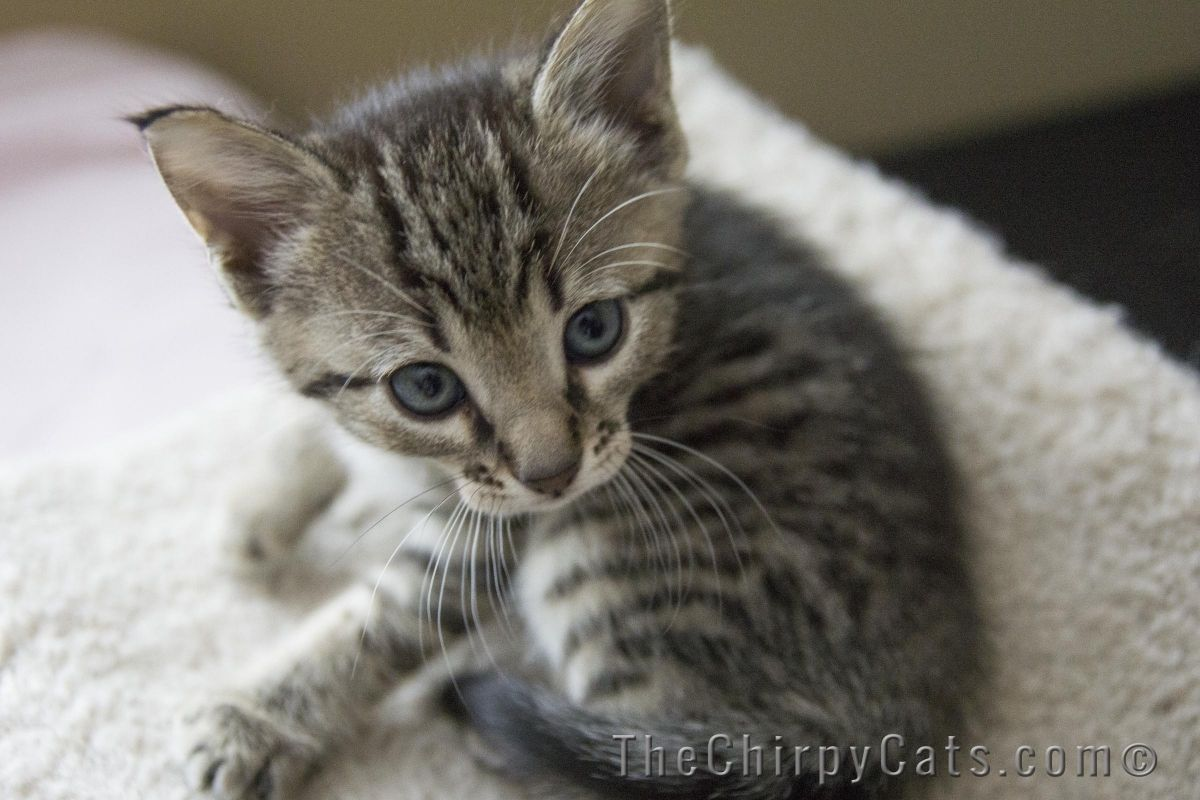 Scorpion Bronze Egyptian Mau Male The Chirpy Cats Kansas City MO