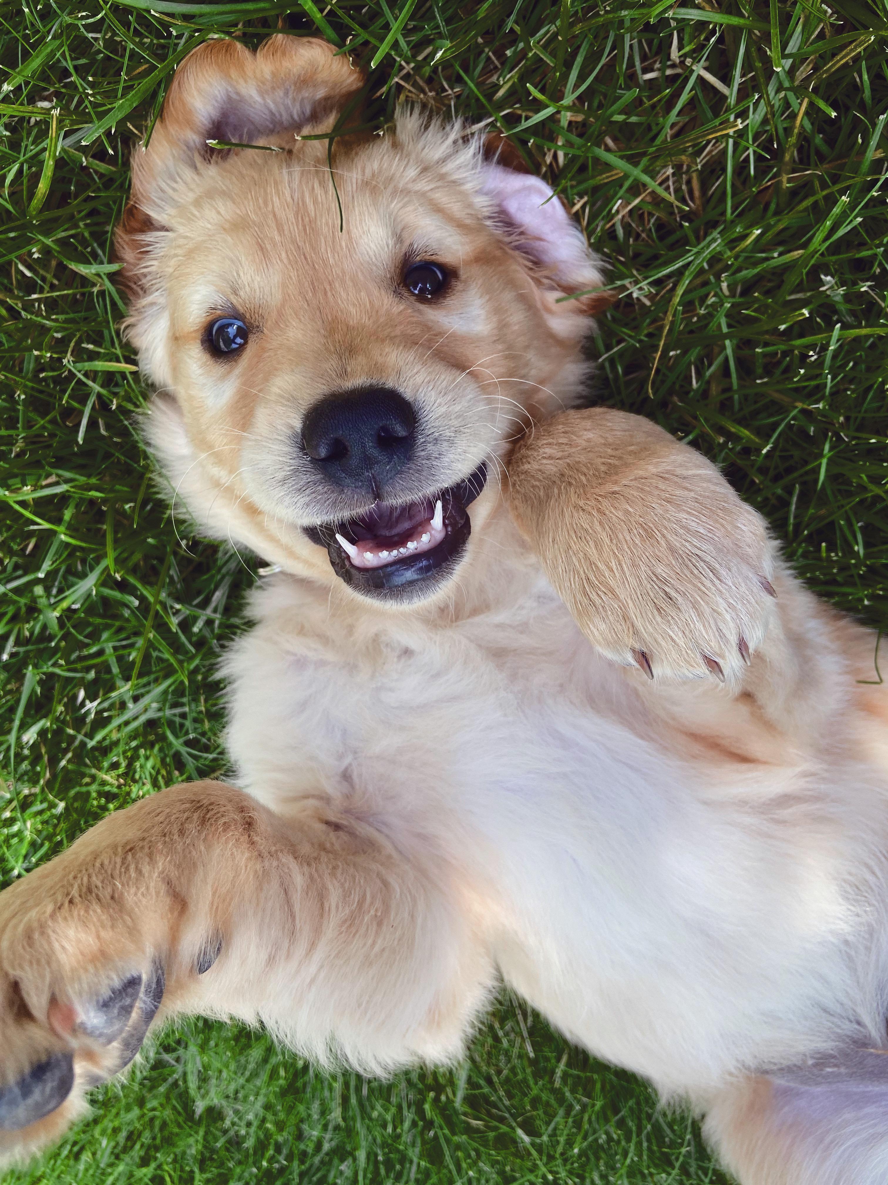 Puppy Smiles Super Cute Goldenretriever 3 In 2020 Golden Retriever Husky Mix Full Grown Golden Retriever Training Dogs Golden Retriever