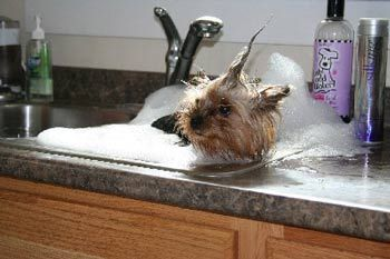 How to groom yorkie puppies. might be usefull to know. How did I never think to bathe him in the sink?!?!