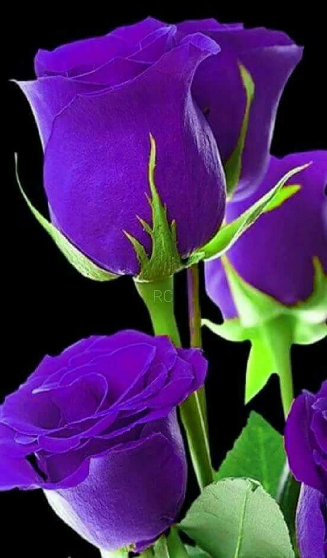 Pin by sawsan chatty on roses pinterest flowers rose beautiful roses pretty flowers beautiful flowers garden rare flowers wonderful flowers exotic flowers roses garden circles colorful roses mightylinksfo Image collections