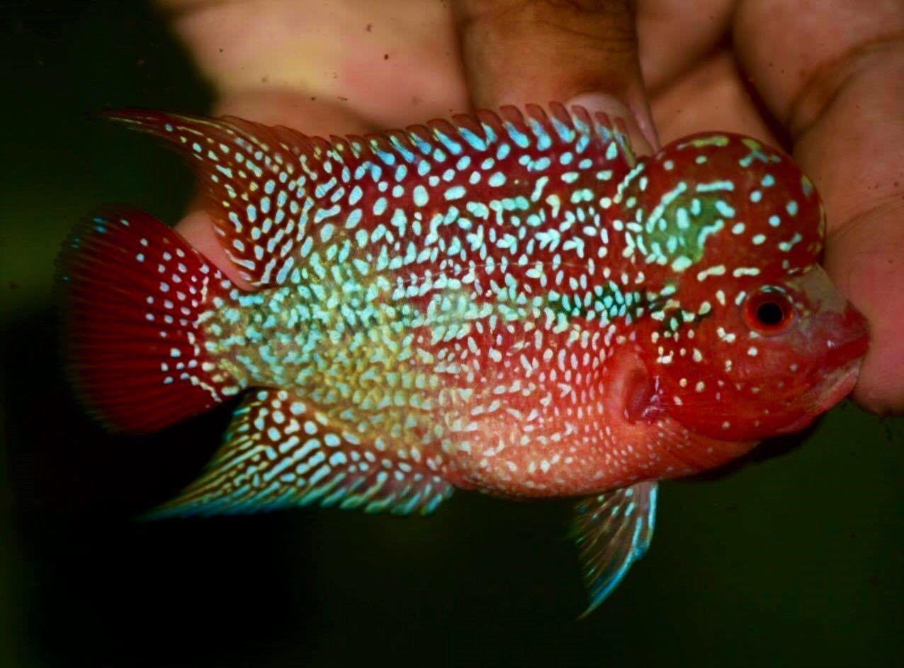Monster Kok Super Red Kamfamalau Flowerhorn A Quality Ebay Tropical Fish Aquarium Freshwater Aquarium Fish Tropical Fish