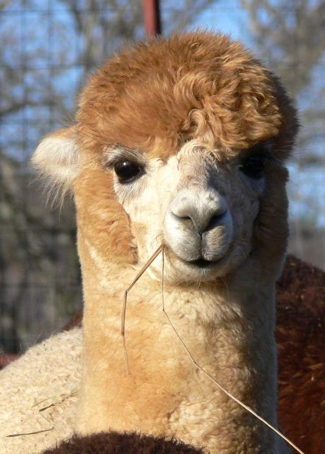 Alpaca Sleigh Belle - love her alpaca smile!   Alpaca pictures