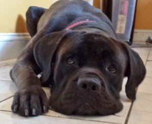 Adopt Moses On Petfinder Cane Corso Mastiff Dogs Corso Dog