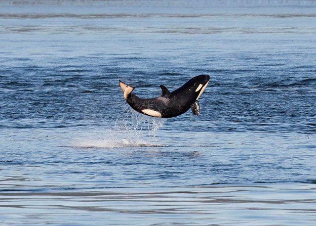 Orca Census