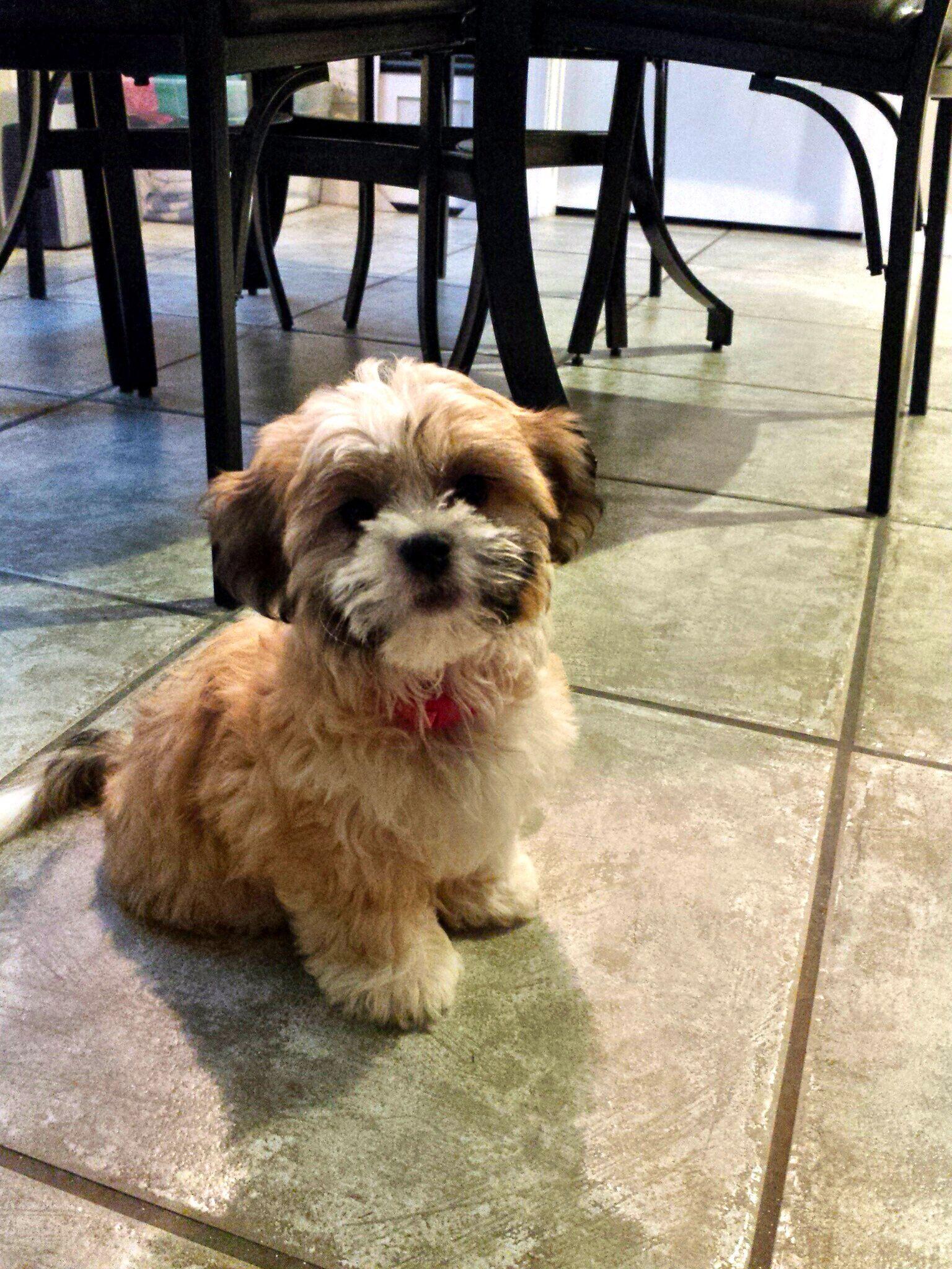 Shichon puppies for sale in kentucky - Carley My Shih Tzu Bichon Frise Mix