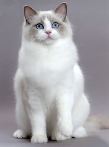 Bakerview Rags Ragdoll Kittens Cats About Ragdolls Cat Breeds Ragdoll Cute Cats Ragdoll Cat