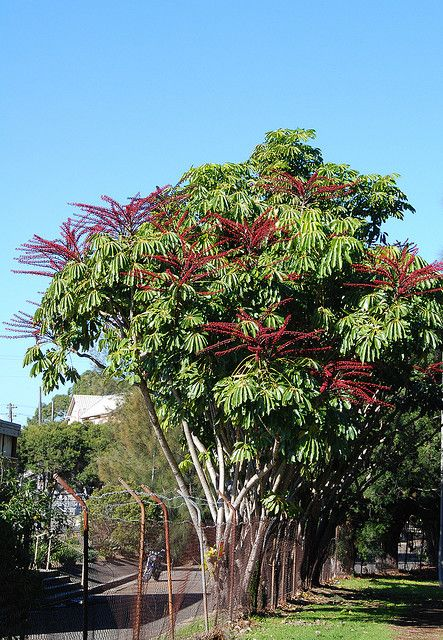 Schefflera Actinophylla 070623 1585 Krzewy Drzewa I
