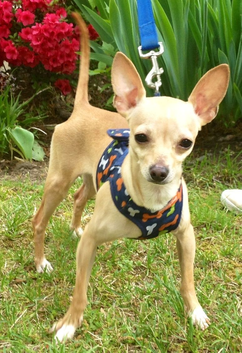 Adopt Peppino In Nj On Dogs Puppies Chihuahua Puppies