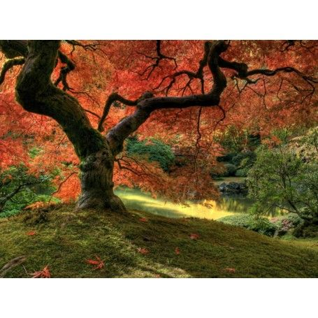 Japanese Maple Tree Wall Mural