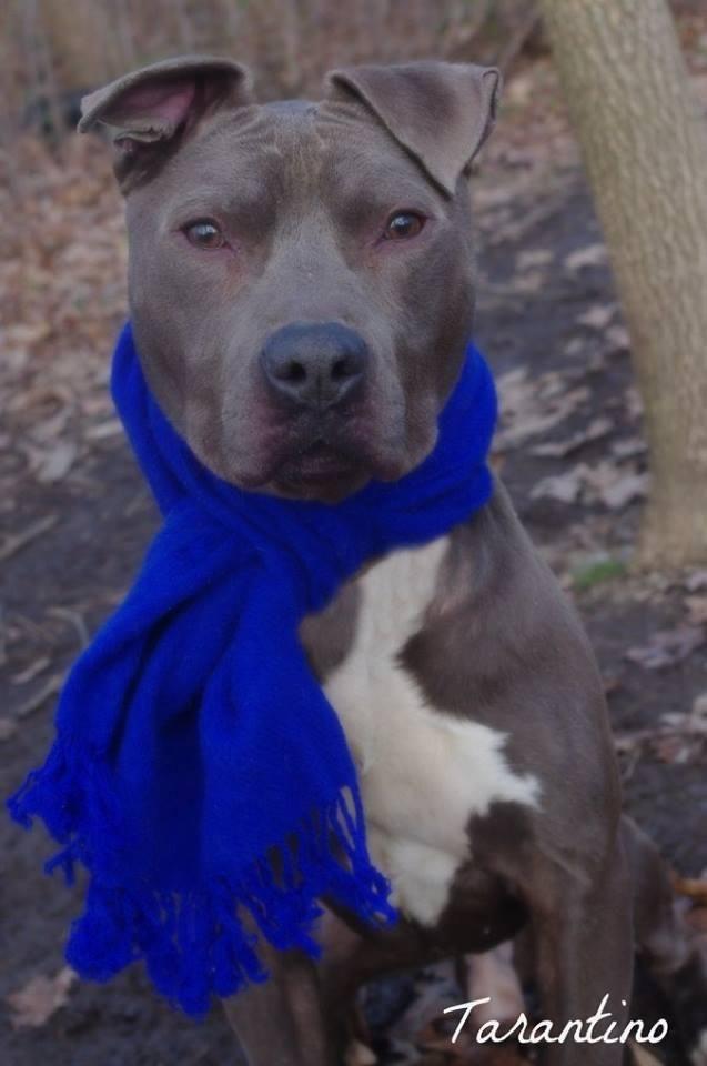 Adopt Tarnatino On Dog Pounds Pitbull Facts Animal Facts